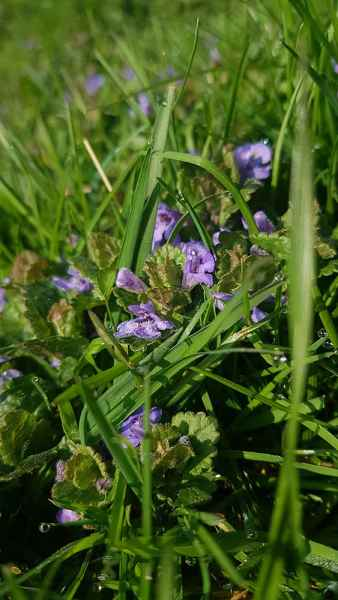 Ground Ivy flowers