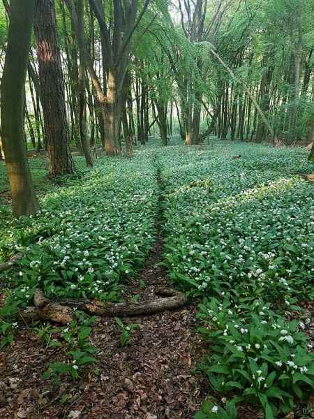 Wild garlic in flower