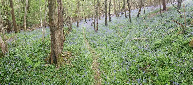Bluebells at Colin Godmans Farm