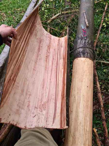 Large sheet of sweet chestnut bark removed