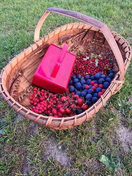 Sweet chestnut bark trug berry picking