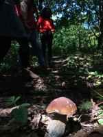 Porcini mushroom Norwood