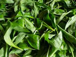 Wild garlic leaves washed