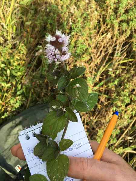 Water Mint Identification