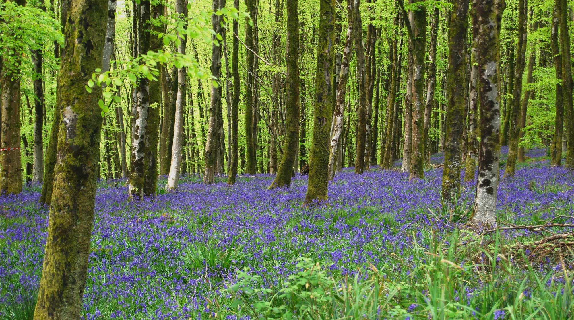 foraged-east-bysshe-cross-country-course-bluebells-slide-main
